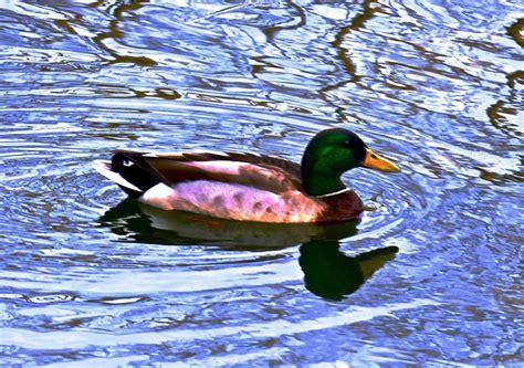 Central Park Duck Boats by Central Park 3 Duck In Turtle Pond 1 Ken Lerner