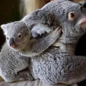 Angry Koala
