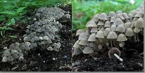 Pilze Auf Komposthaufen : pilze an mist kompost 11 fotos ~ Lizthompson.info Haus und Dekorationen
