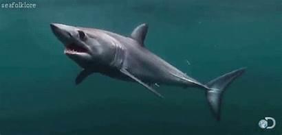 Shark Mako Sea Shortfin Marine Island Charlestown