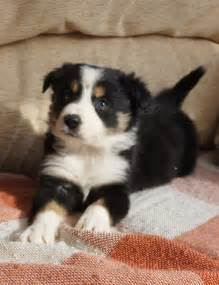 Dogs Border Collie Puppies for Sale