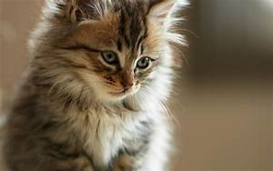 Look, Kitten, Fur, Wallpapers, And, Images
