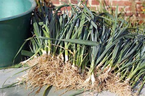recette de les bienfaits des poireaux et comment en planter