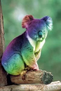 Gay pride koala. | Koala-fications, pls. | Animals ...