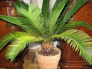 Palmen Für Draußen : palme wedel gelb ist das normal mein sch ner garten ~ Michelbontemps.com Haus und Dekorationen