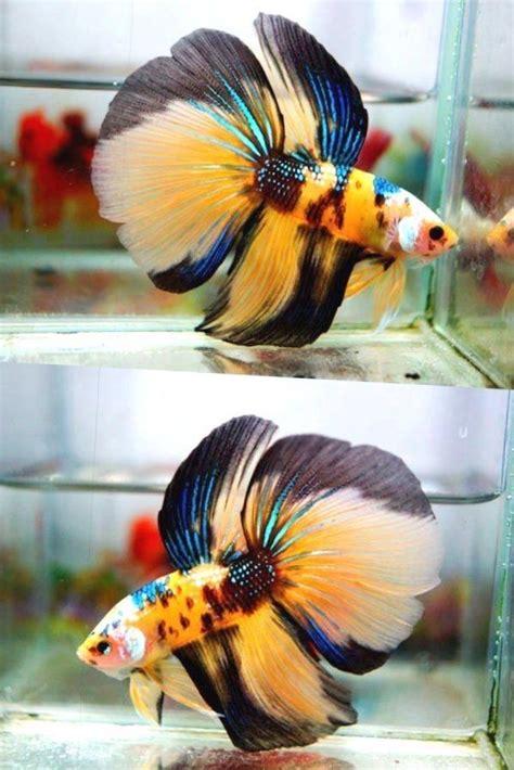betta fish hm male yellow green blue white black
