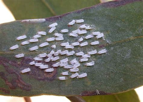 soft bug families