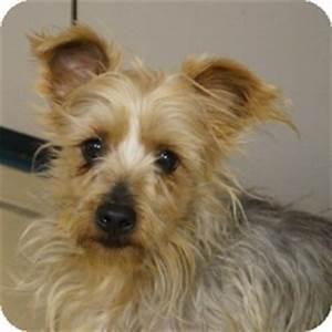 Scotty   Adopted Dog   Eatontown, NJ   Yorkie, Yorkshire ...