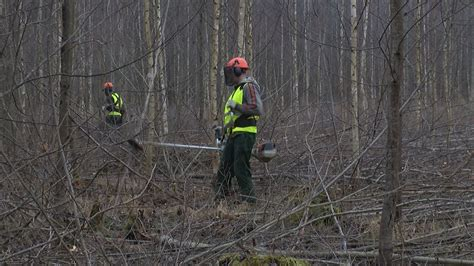 Jaunaudžu kopšana - tikpat svarīga kā mežu stādīšana - YouTube