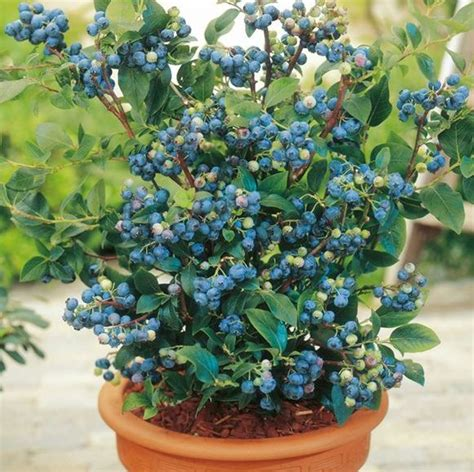 blueberry farming information guide agrifarming in