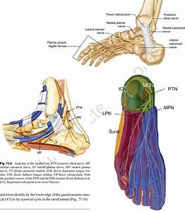 5 Anatomy Of The Distal Tibial Nerve And Its Branches