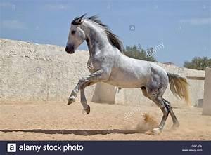 Arabian horse - galloping Stock Photo, Royalty Free Image ...