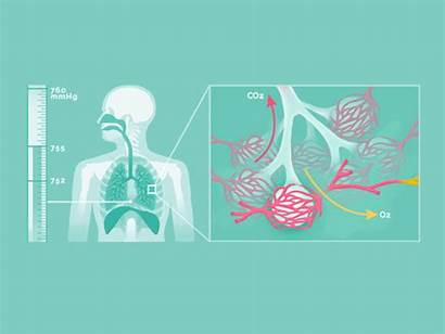 Animated Human Guide Breathing System Respiratory Animation