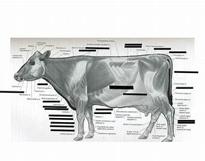 35 Cow Muscle Diagram