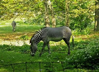 Animal Zebra Wallpapers Animals Backgrounds Background Desktop