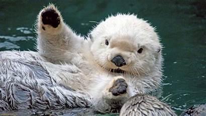 Sea Otter Otters Wallpapers Wallpapersafari