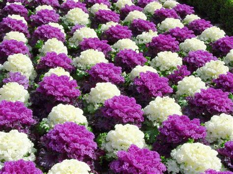 ornamental cabbage perennial why should i plant that flower when i know it will die