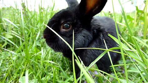lapin noir