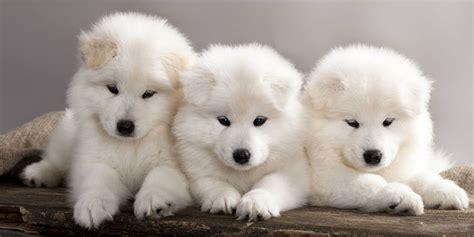 Three Cute Samoyed Puppies