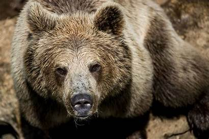 Bear Brown Alaska Moose Attack Hunter Haines