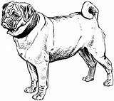 Coloring Pug Pages Printable Popular sketch template