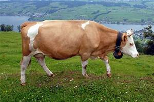 Wallpapers of Cow as Animal for Desktop[ Background ~ Wild ...