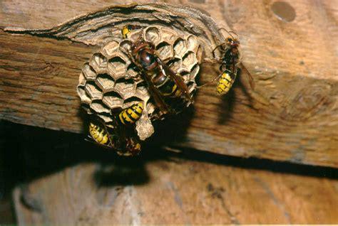 hornissenkoenigin