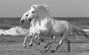 Two White Horses Run On The Beach Photograph by Carol Walker