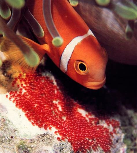 oeuf de poisson d aquarium l 233 levage d un poisson appr 233 ci 233 hiprion le poisson clown aquarium r 233 cifal aquarium