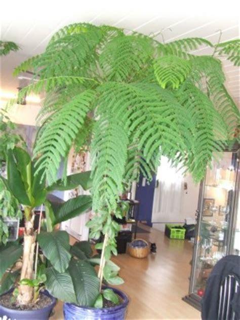 Baum In Der Wohnung by Baum In Der Wohnung Pflanzen Botanik Green24