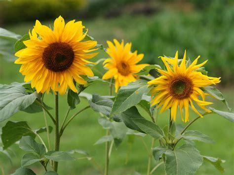 menanam  merawat bunga matahari tanamania