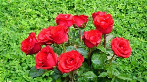 manfaat bunga mawar bagi kesehatan cari manfaat