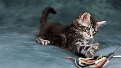 bureau fond d 馗ran 1600x900 chats de papier peint de belles images pour fond d 39 écran