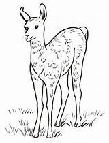 Llama Coloring Printable Face Drawing Printables Pdf Samanthasbell Getdrawings Template sketch template