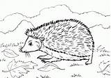 Hedgehog Coloring Printable Pages Hedgehogs Colouring Getcoloringpages Animal Shadow I9 Grass sketch template