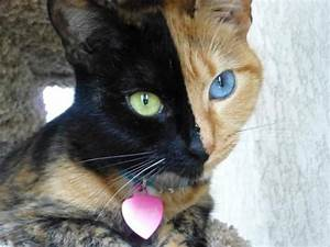 Venus The Amazing Chimera Cat | Bored Panda