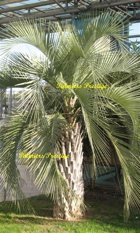 palmier d exterieur resistant au froid 28 images acheter palmier achat 224 prix jardinerie