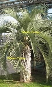 Mimosa Résistant Au Froid : palmiers prestige vente de palmiers et cocotiers d 39 ext rieurs ~ Melissatoandfro.com Idées de Décoration