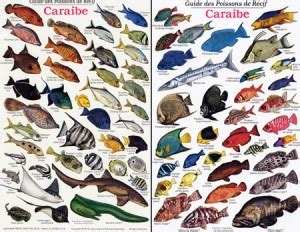 french reef fish   caribbean id card