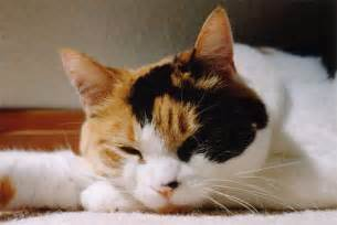 calico cat calico cats your best photo site for calico cats and kittens