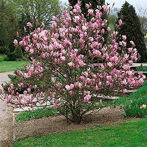 Magnolie Im Topf : magnolien set bestehend aus je 1 pflanze tulpenmagnolie ~ Lizthompson.info Haus und Dekorationen
