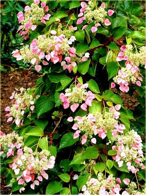 Climbing Hydrangea Cousin  In Pink!!  Fast Grower