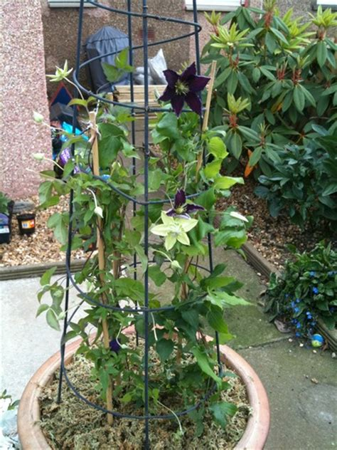 can i plant clematis in a pot can i grow clematis in a pot 28 images in containers on balconies and terraces potted