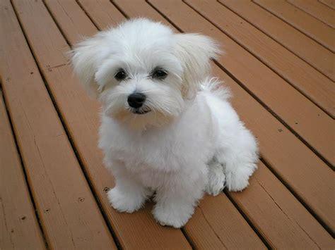 File Ee  Maltese Ee    Ee  Puppy Ee   Jpeg Wikimedia Commons