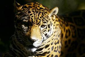 Audubon Zoo jaguar escapes enclosure, kills eight animals ...  Jaguar