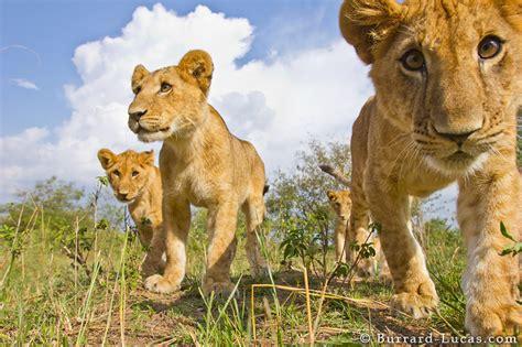 playful lion cubs burrard lucas photography
