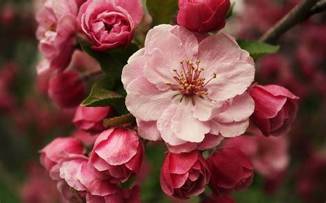 Cherry Blossom Wallpaper Anime Blossom Wallpaper 2560x1600 66273