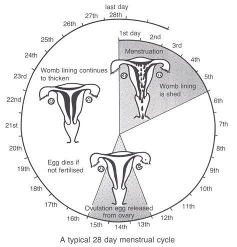 28 Day Menstrual Cycle Chart