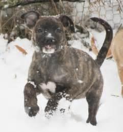Brindle Pitbull Mix Puppies