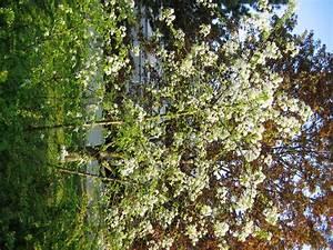 Baum Mit Weißen Blüten : strauch kleiner baum wei e bl ten unangenehmer geruch ~ Michelbontemps.com Haus und Dekorationen